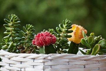 Cactus zaden