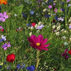 Wilde bloemen zaden