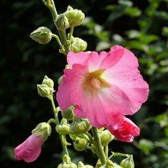 Tweejarige bloemen