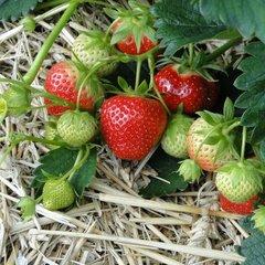 Aardbeien zaden