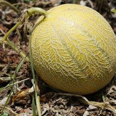 Meloen zaden