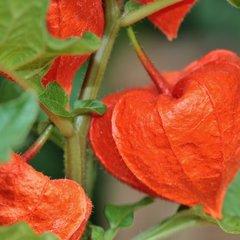 Lampionplant zaden