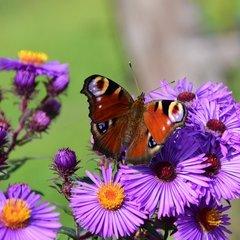 Vlinderbloemenfamilie