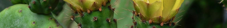 Cactus-zaden