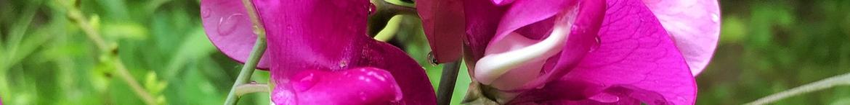 Siererwt-zaden