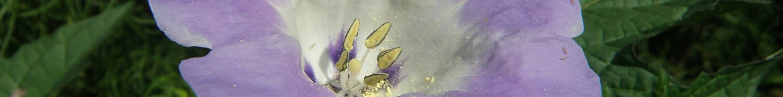 Dagschone-zaden