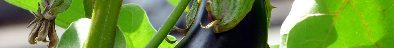 Aubergine-kweken