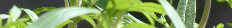 Bonenkruid-zaden