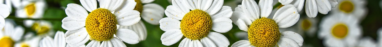 Kamille-zaden