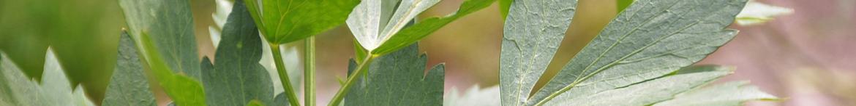 Lavas-zaden