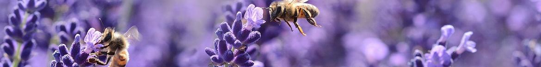Lavendel-zaden