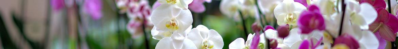 Orchidee-zaden