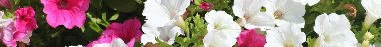 Petunia-zaden