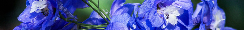 Ridderspoor-zaden