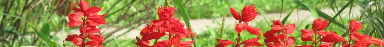 Salvia-zaden