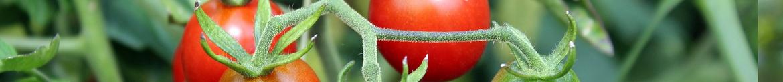 Tomaten-kweken