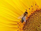 Zadenmengsel voor bijen _