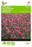 Steenanjer Brilliant (Dianthus) - voorkant