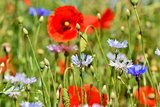 Wilde bloemen met klaproos kweken