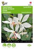 Prachtkaars Sparkle White Gaura lindheimeri zaden - voorkant