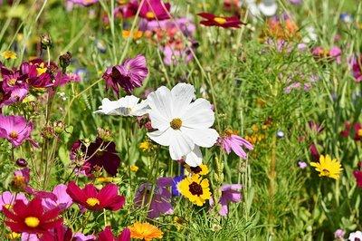 Wild bloemen in veld zaaien